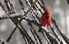 Northern Cardinal, Male (Cardinalis cardinalis); Catalina, AZ [Lou Feltz] (deserttoad) Tags: bird wildbird songbird desert arizona cardinal nature wildlife shrub behavior ocotillo fauna