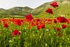 Papaveri (Marte Visani) Tags: papaveri castellucciodinorcia fiori