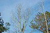 Blue Sky And Trees. (dccradio) Tags: lumberton nc northcarolina robesoncounty outdoors outside nikon d40 dslr nature natural tree trees greenery landscape treeline evergreen pine sky bluesky clouds