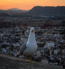 A Bird Comes Along (henriksundholm.com) Tags: animal bird dof depthoffield bokeh sunset mountains city urban cityscape skyline concrete feathers beak santabarbara alicante spain espana seagull funny humor