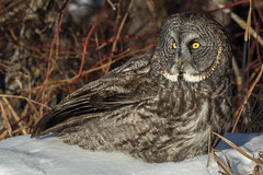 Great Grey Owl (davezimmerman906) Tags: great owl hecla gray