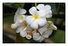 bngishakEOS 7D 0028725 (bngishak (Off..!!)) Tags: bngishak canoneos7d ef24105mmf4lisusm plumeriaobtusa plumeria bungakemboja frangipani graveyardflower flower blossom