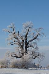 Kalte Eiche Gera (rollo66) Tags: baum deutschland gera kalteeiche landschaft natur thüringen de winter