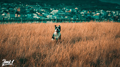 Lila. (JohnManko) Tags: canonef50mm14 ot pitbulllove pitbullportrait portrait orangeteal apt americanpitbullterrier pitlbull 50mm canonef50mmf14 canon 550d t2i rebel