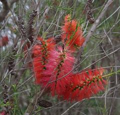 Melaleuca lateritia, Jandakot Regional Park, near Perth, WA, 17/11/17 (Russell Cumming) Tags: plant melaleuca melaleucalateritia myrtaceae jandakotregionalpark perth westernaustralia