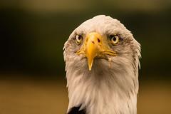 i've eaten bigger! (jeff.white18) Tags: baldeagle eagle eyes feathers birdofprey preditor beak raptor portrait bird closeup nikon flickr