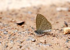 Dingy Lineblue (chaz jackson) Tags: dingylineblue petrelaeadana lycaenidae polyommatinae insect butterfly vietnam macro blue lineblue