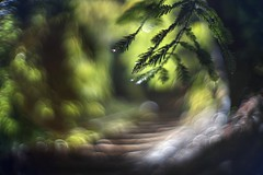 Your stairway lies on the whispering wind (PeterThoeny) Tags: saratoga california siliconvalley sanfranciscobay sanfranciscobayarea hakonegardens japanesegarden stairway path trail bamboogarden tree leaf treeleaf green blur depthoffield shallowdepthoffield dof bokeh sony sonya7 a7 a7ii a7mii alpha7mii ilce7m2 fullframe vintagelens dreamlens canon50mmf095 f095 canon 1xp raw photomatix hdr qualityhdr qualityhdrphotography forest fav200