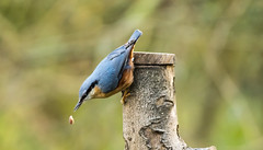 Awe nuts (Andrew-Jackson) Tags: birds nature wildlife nuthatch