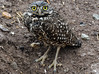 I don't know who you are !! (wesleybarr1962) Tags: owl burrowingowl athenecunicularia
