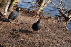 Neugierig und hungrig ...... (Sockenhummel) Tags: bleshuhn schlachtensee vögel ufer see lake winter wasservögel fuji x30 tiere