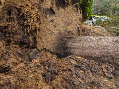 Storm damage in Salem MA (avatarsound) Tags: salem damage evergreen outside pine storm tree winddamage