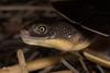 Eastern long-necked turtle (R. Francis) Tags: ryanfrancis ryanfrancisphotography nsw newsouthwales nswnorthcoast northernrivers easternlongneckedturtle chelodinalongicollis yuraygirnationalpark wooli