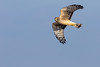 Northern Harrier (djrocks66) Tags: wildlife nature animals birds raptors owls snowy harrier heron merganser seal harbor snow winter waterfowl fowl ducks flying long island ny canon outdoors hiking bif creatures