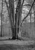10 beeches (StefanKoeder) Tags: buche beech buchen beeches stuttgart germany deutschland tree baum orwo orwonp20 80asa adonal penti schnellladefilm sl analog bw vintage film