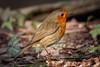 091.jpg (Kico Lopez) Tags: miño lugo spain feeder galicia birds aves petirrojo erithacusrubecula rio