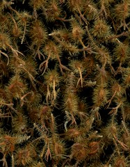 58741.45 Kolkwitzia amabilis (horticultural art) Tags: horticulturalart kolkwitziaamabilis kolkwitzia beautybush driedflowers seeds closeup
