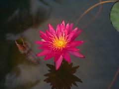 บัวลูกผสมข้ามสกุลย่อยสัญชาติไทย 'ดิโก้ กอลลิ' Nymphaea 'Diego Galli' HxT (ISG) Waterlily Thailand 11 (Klong15 Waterlily) Tags: wahgarden thailandwaterlily pond pondplant diego galli diegogalli diegogalliwaterlily nymphaea gardener lotus flower lotusflower hxtwaterlily intersubgenericwaterlily isgwaterlily บัว บัวลูกผสมข้ามสกุลย่อย ดอกบัว ไม้ดอกไม้ประดับ landscape landscapes ดอกบัวสวยงาม