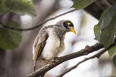 Noisy Minor (Schwaco) Tags: australia goldcoast goldcoastaustralia branch branches leaf leaves tree trees noisy minor noisyminor bird beak perch green orange red australianbirds australianwildlife australianbird aus