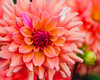 Hampton Court Palace 2017-14 (benjaminjohnson1983) Tags: 2017 dahlia dahliageerlingscupido flickr flower gardens geometry hamptoncourtpalace2017 highlights london orange petails pink variegation