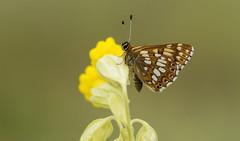 Duke of Burgundy (Hamearis lucina). (Bob Eade) Tags: dukeofburgundy butterflies lepidoptera westsussex cowslip downland butterfly insect sussex wildlife nature nikon floraandfauna heyshottdown macro