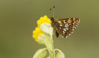 Duke of Burgundy (Hamearis lucina).