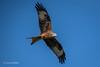 Red Kite D85_0782.jpg (Mobile Lynn) Tags: redkite birds wild birdsofprey nature bird birdofprey fauna milvusmilvus raptor wildlife reading england unitedkingdom gb coth specanimal coth5 ngc