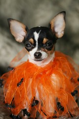 Flamboyant on y'all (Cindy's Here) Tags: flamboyantonyall flamboyant chihuahua tutu bats halloween canon neckwear 118 109