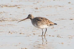 Conyer Blacktailed Godwit