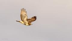 sometimes i fly a little (explore 1/29/18) (morris 811) Tags: flight flying explore hawk red tail raptor nikon nikkor d4s 500mm f4 tc14