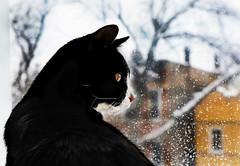 Happy Caturday (kirstiecat) Tags: cat feline meow window gato chat caturday winter chicago kitty mood blackcat tuxedocat