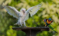 Uneasy_DSC0567 (Mel Gray) Tags: lorikeets birds nature naturallight nikon200500mmlens australianbirds rainbowlorikeets parrot