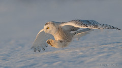 On a mission... (Earl Reinink) Tags: winter snow sky blue bird animal predator wildlife owl snowyowl wings earl reinink earlreinink niagara ioodhaudza