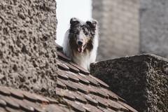 Lulo. (Gerardo Nava Fotografía.) Tags: sony alpha a77ii sonyflickraward sonyalpha sonyméxico sonya77ii sonyalphamexico sal135f18z sonnart18135za zeiss zeisslens sonyzeiss sonnart18135 pet doggie dog doggy bokeh retrato portrait