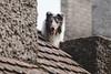 Lulo. (Gerardo Nava Fotografía) Tags: sony alpha a77ii sonyflickraward sonyalpha sonyméxico sonya77ii sonyalphamexico sal135f18z sonnart18135za zeiss zeisslens sonyzeiss sonnart18135 pet doggie dog doggy bokeh retrato portrait