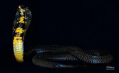 PakastaniCobraFull (TRAdamson Photography) Tags: reptiles reptilephotography snake snakes herpetology herps biology reptile beautiful cobra mamba elapidae elapids elapid neurotoxic venomous venom exotic