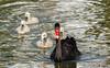 Black Swan and cygnets (cantdoworse) Tags: black swan perth western australia wildlife birds cygnet