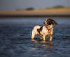 Water pup (Dogstar_photography) Tags: canon eos 5d mark iv ef70200mm f28l is ii usm west beach littlehampton springer spaniel dof depth field wide open sea sand