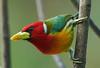 COL_7609 (lucvanderbiest) Tags: redheadedbarbetmale roodkopbaardvogel colombia jardin 15cm