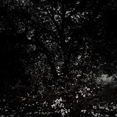 TERRA INCOGNITA (Grant Simon Rogers) Tags: grantsimonrogers ƒ artistphotographer artist photographer lecturer picturemakingnottaking cookinginthecamera sooc straightoutofthecamera leica leicaq leicaflasher leicasf40flash flashing flasher dayfornight daylightwithflash americannight themanwhoflashedattrees london regentspark ataleoftwocities londonberlin berlin englandshire europa flâneur leicatrousers trousersrolled winterplumage konohanasakuyahime wintercherry terraincognita photopsychotherapy happinessisawarmcamera thesodomandgomorrahphotographicsociety weallneedahug keepsharingthebeauty hichabitatfelicitas davidbennett davidandrewbennett dab