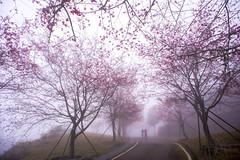 霧之櫻 (張麗芬) Tags: taiwan 嘉義縣 阿里山鄉 櫻花 霧 風景 雲林縣 林內鄉 三號水門 落羽松