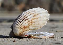 Shell (Raphooey) Tags: gb uk england south west southwest cornwall lizard peninsula meneage sea seaside seashore shore shoreline beach wave waves roller breaker canon eos 80d st keverne sand sandy shell scallop ridge ridges