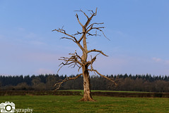 Crooked Tree (Mike House Photography) Tags: tree crooked wonky branches trunk brown sticks light dark country countryside hill hills hillside field blue sky green grass sharp jagged contrast croft castle national trust grounds park outdoors travel herefordshire estate