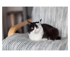 Chayane (Roxo15) Tags: 2018 bokeh canon5dmkii d1x chayane 50mmf12 cat chat appareilphoto 5dmkii animaux frame