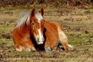 New Forest Pony Enjoying the Sunshine