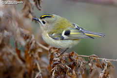 Goldcrest, Regulus regulus (Nigel Blake, 16 MILLION views! Many thanks!) Tags: goldcrest regulusregulus birdphotography bird nature wildlife ornithology small tiny nigel nigelblake nigelblakephotography naturalhistory