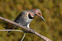 Yellow-Shafted Norther Flicker (brian.bemmels) Tags: colaptes auratus coaptesauratus yellowshaftednortherflicker yellowshafted northerflicker flicker richmond bc britishcolumbia canada nature outdoors wildlife bird backyardbirds backyard female