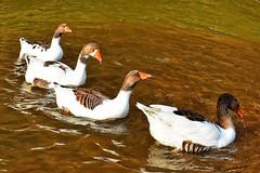 Four friends(EXPLORE!!) (cengizskpl) Tags: duck animal water lake white nikon7200 1855 nature 27022018 explore grouptripod