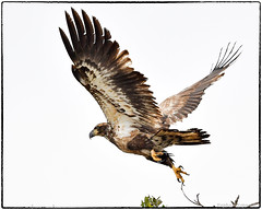 Juvenile bald eagle (RKop) Tags: alafiabnaks tampa florida raphaelkopanphotography d500 nikkor600f4evr handheld wildlife