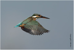 Common Kingfisher (Alcedo atthis) 普通翠鳥 - 291217_DSC0705n (KK Hui) Tags: commonkingfisher alcedoatthis 普通翠鳥 wetlandbird kingfisher bird